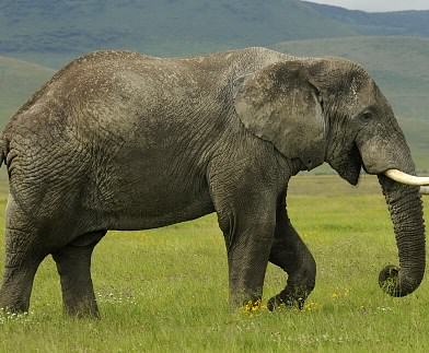 Contoh Descriptive Text About Elephant Bahasa Inggris dan Artinya