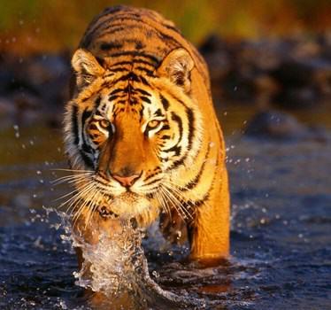 Contoh Report Text About Tiger Dalam Bahasa Inggris Dan Artinya