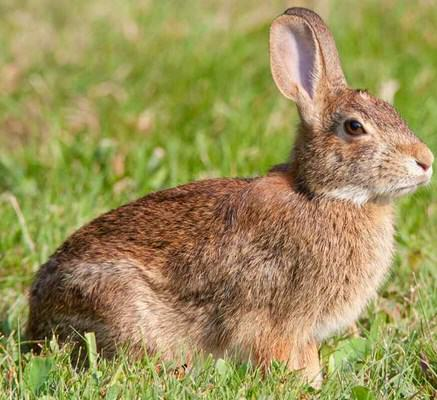 3 Contoh Report Text About Rabbit dan Artinya
