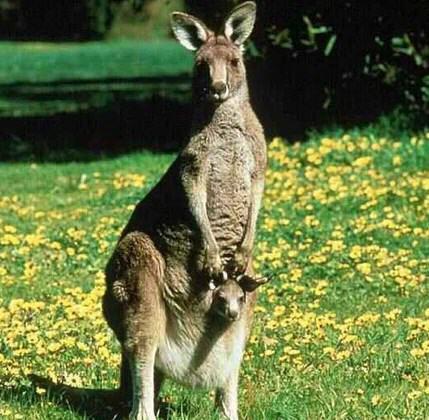 Contoh Report Text About Kangaroo dan Artinya