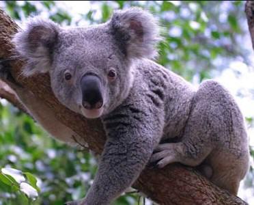 Contoh Report Text About Animal (Koala) dan Artinya