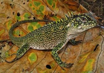 Contoh Report Text About Lizard (Kadal) dan Artinya