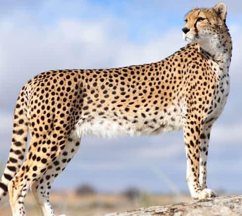 Contoh Report Text About Cheetah dalam Bahasa Inggris dan Artinya