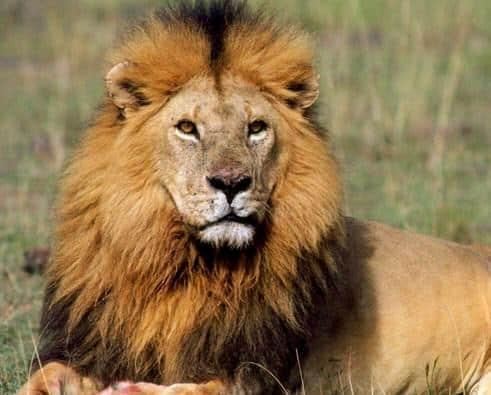 Contoh Descriptive Text About Lion (Singa) dan Artinya