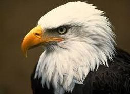 Contoh Report Text About Eagle dan Artinya