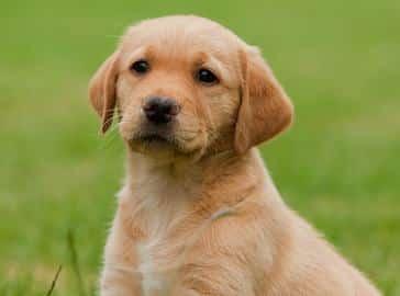 Contoh Report Text About Dog dan Artinya
